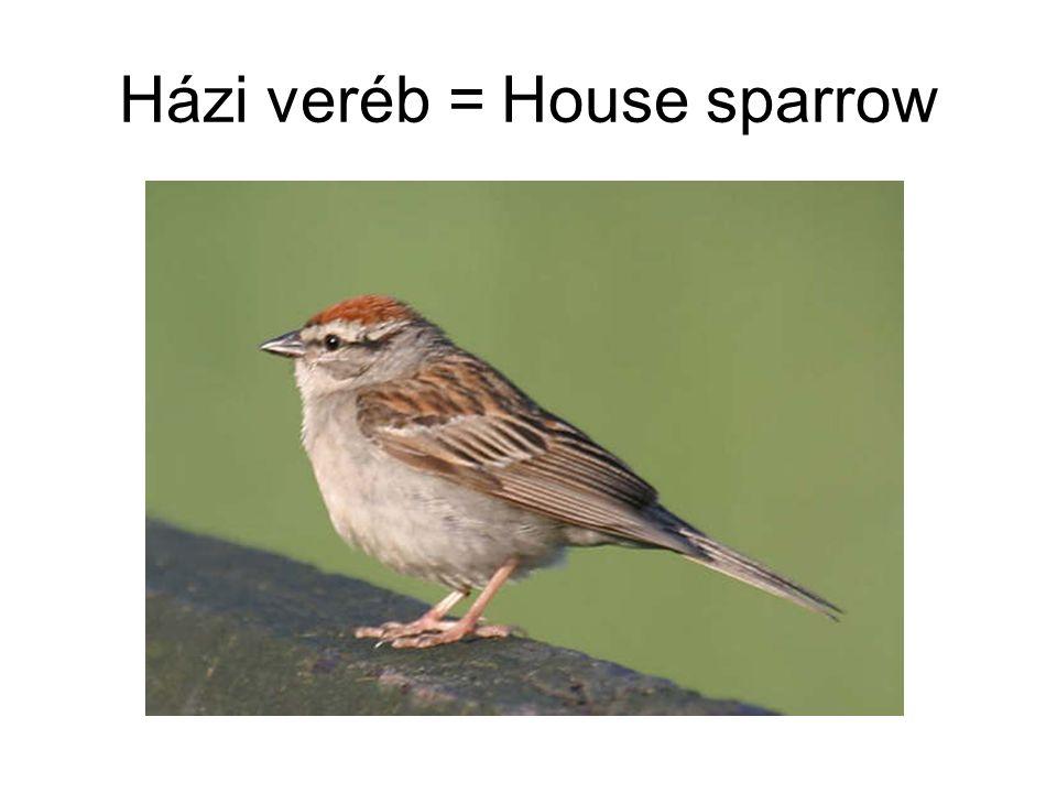 Házi veréb = House sparrow