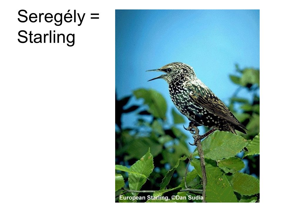 Seregély = Starling