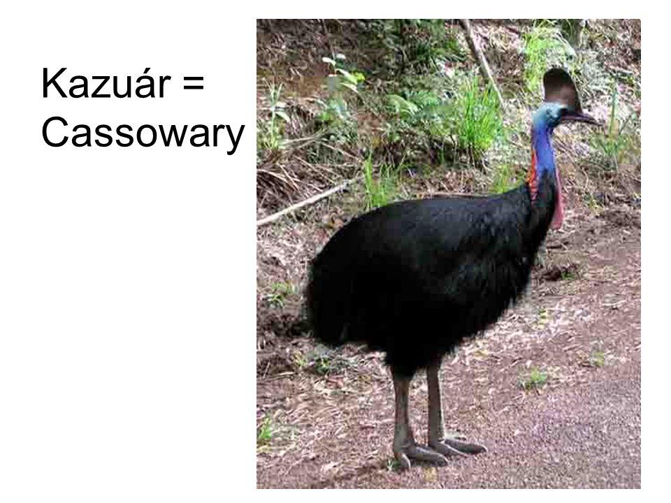 Kazuár = Cassowary