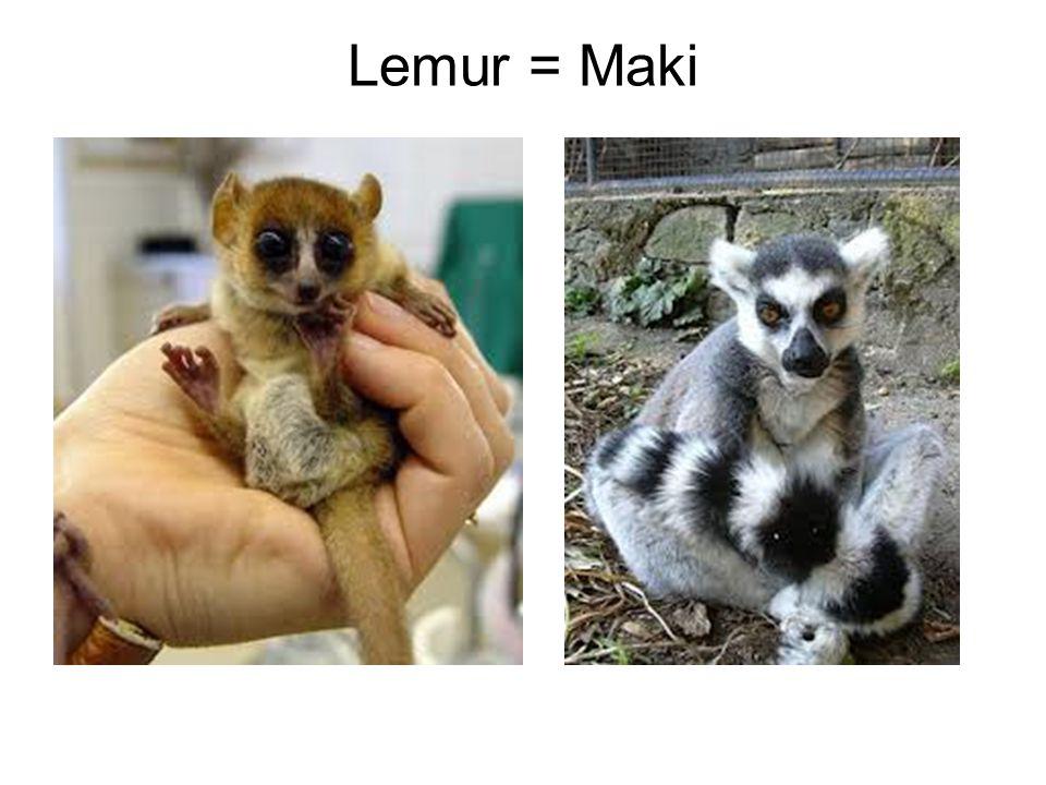 Lemur = Maki