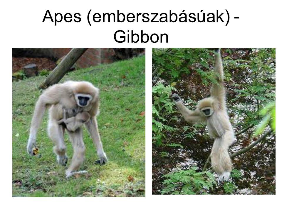 Apes (emberszabásúak) - Gibbon