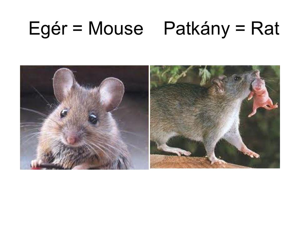 Egér = Mouse Patkány = Rat