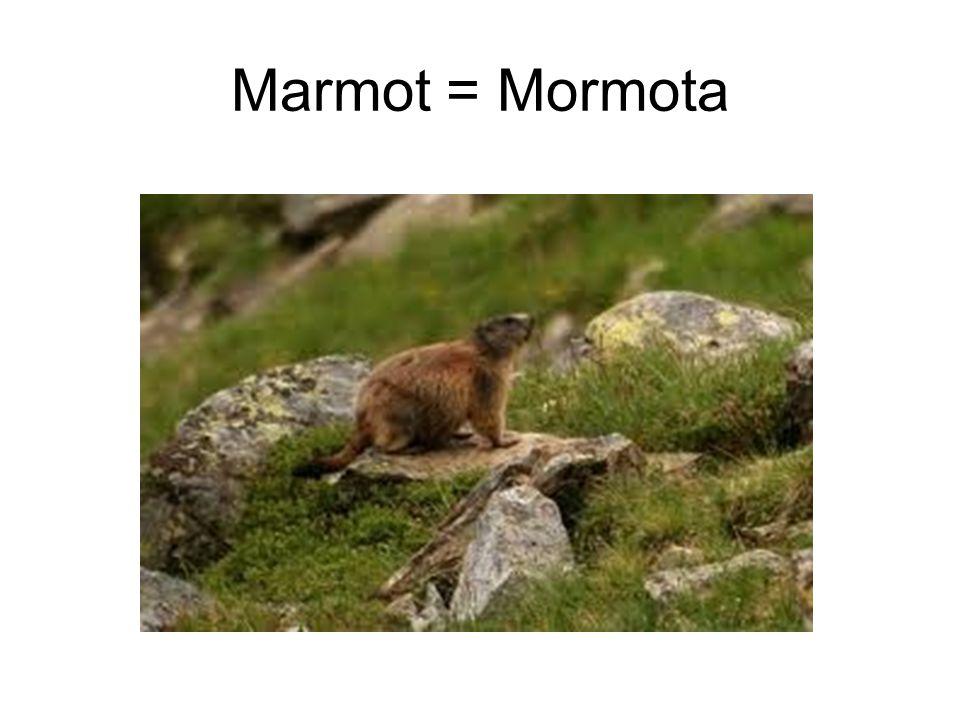 Marmot = Mormota