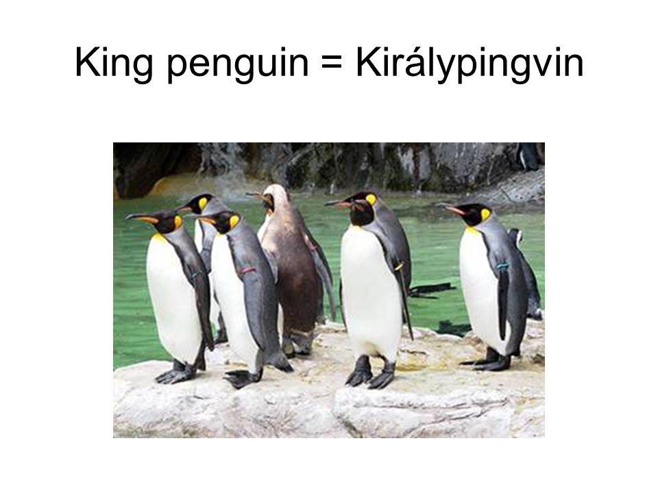King penguin = Királypingvin