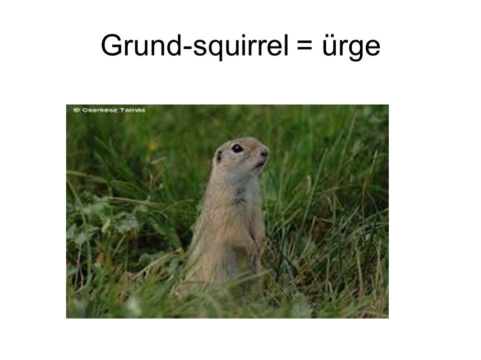 Grund-squirrel = ürge