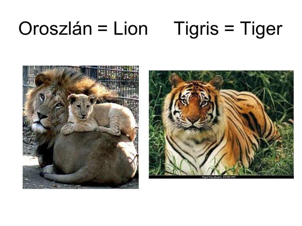 Oroszlán = Lion Tigris = Tiger