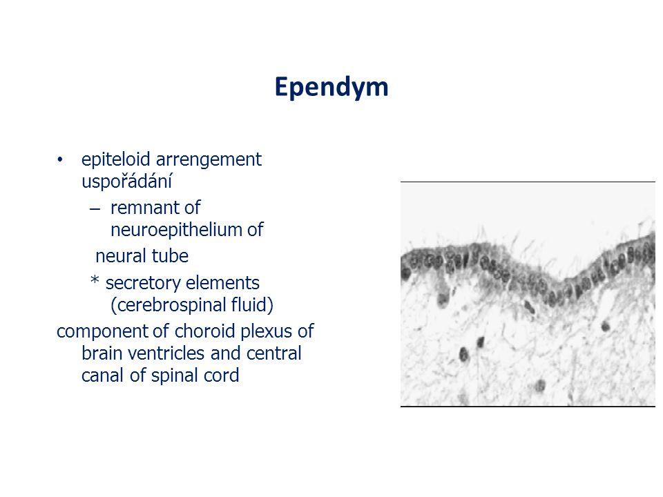 Ependym epiteloid arrengement uspořádání – remnant of neuroepithelium of neural tube * secretory elements (cerebrospinal fluid) component of choroid p