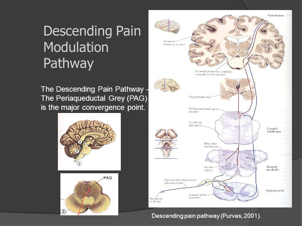 Descending Pain Modulation Pathway Descending pain pathway (Purves, 2001). The Descending Pain Pathway – The Periaqueductal Grey (PAG) is the major co