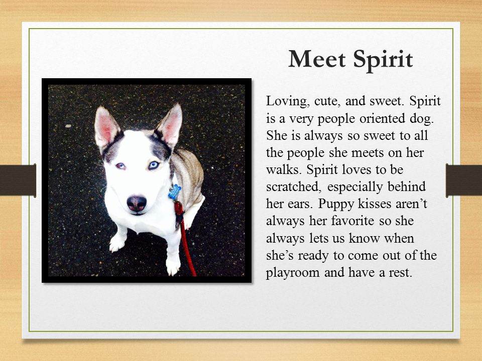 Meet Spirit Loving, cute, and sweet. Spirit is a very people oriented dog.