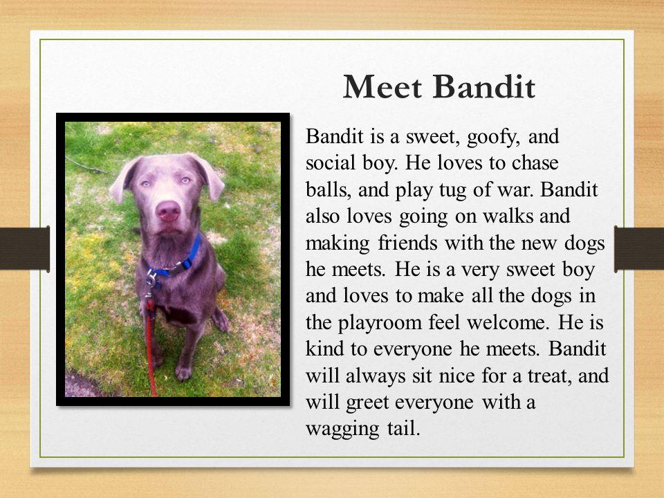 Meet Bandit Bandit is a sweet, goofy, and social boy.