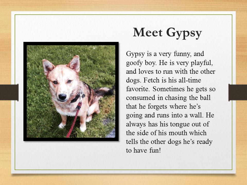 Meet Gypsy Gypsy is a very funny, and goofy boy.