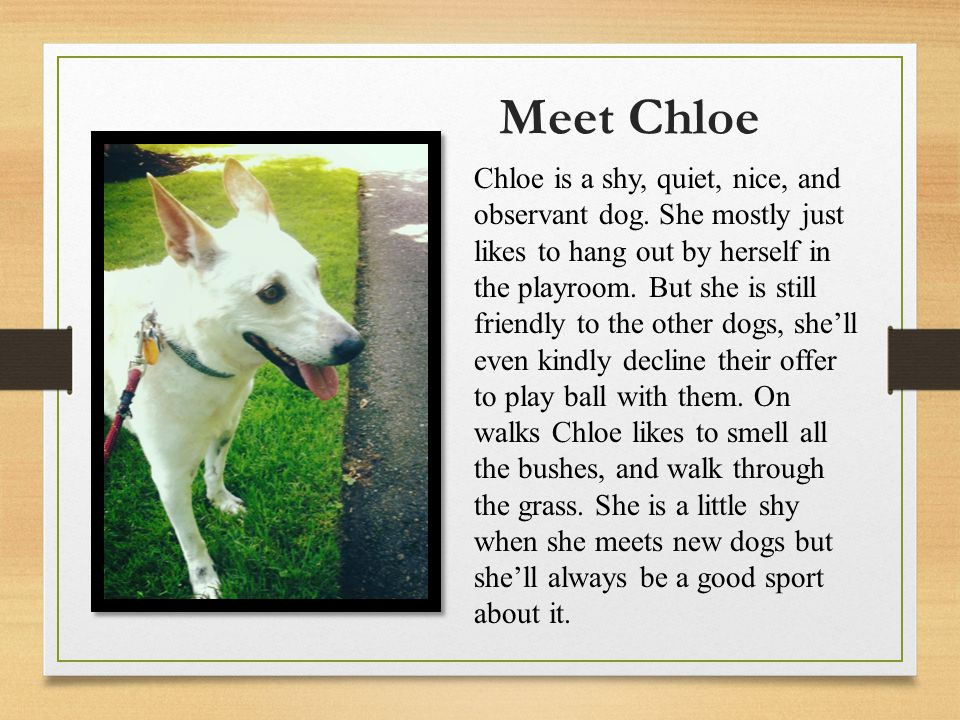 Meet Chloe Chloe is a shy, quiet, nice, and observant dog.