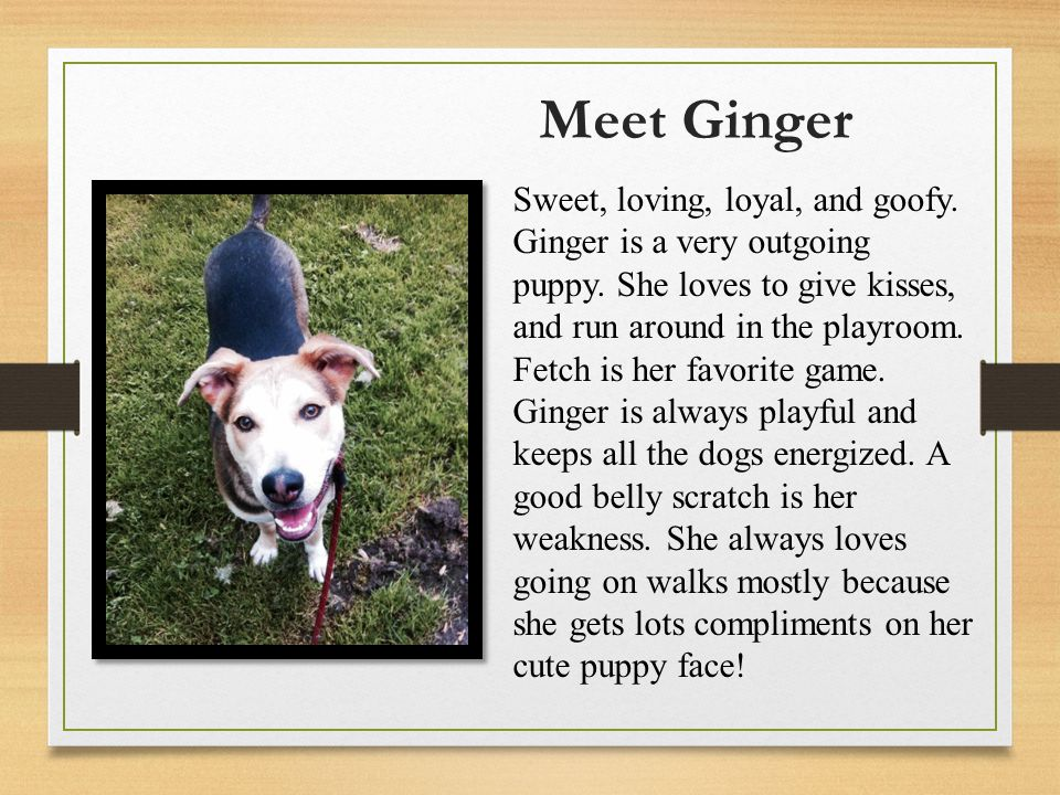 Meet Ginger Sweet, loving, loyal, and goofy. Ginger is a very outgoing puppy.