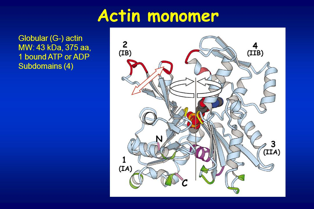 Globular (G-) actin MW: 43 kDa, 375 aa, 1 bound ATP or ADP Subdomains (4) Actin monomer