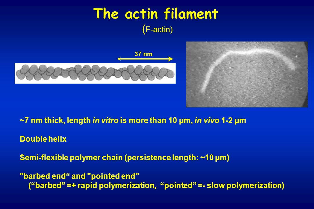 The actin filament ( F-actin) 37 nm ~7 nm thick, length in vitro is more than 10 µm, in vivo 1-2 µm Double helix Semi-flexible polymer chain (persiste