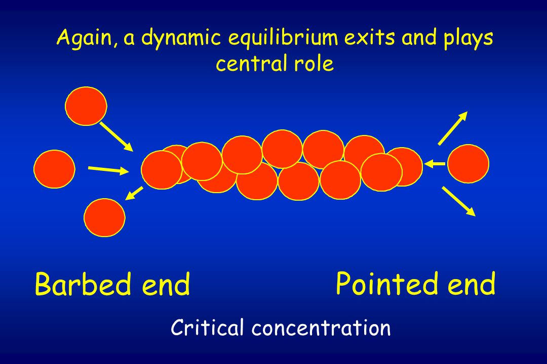 Barbed end Pointed end Again, a dynamic equilibrium exits and plays central role Critical concentration
