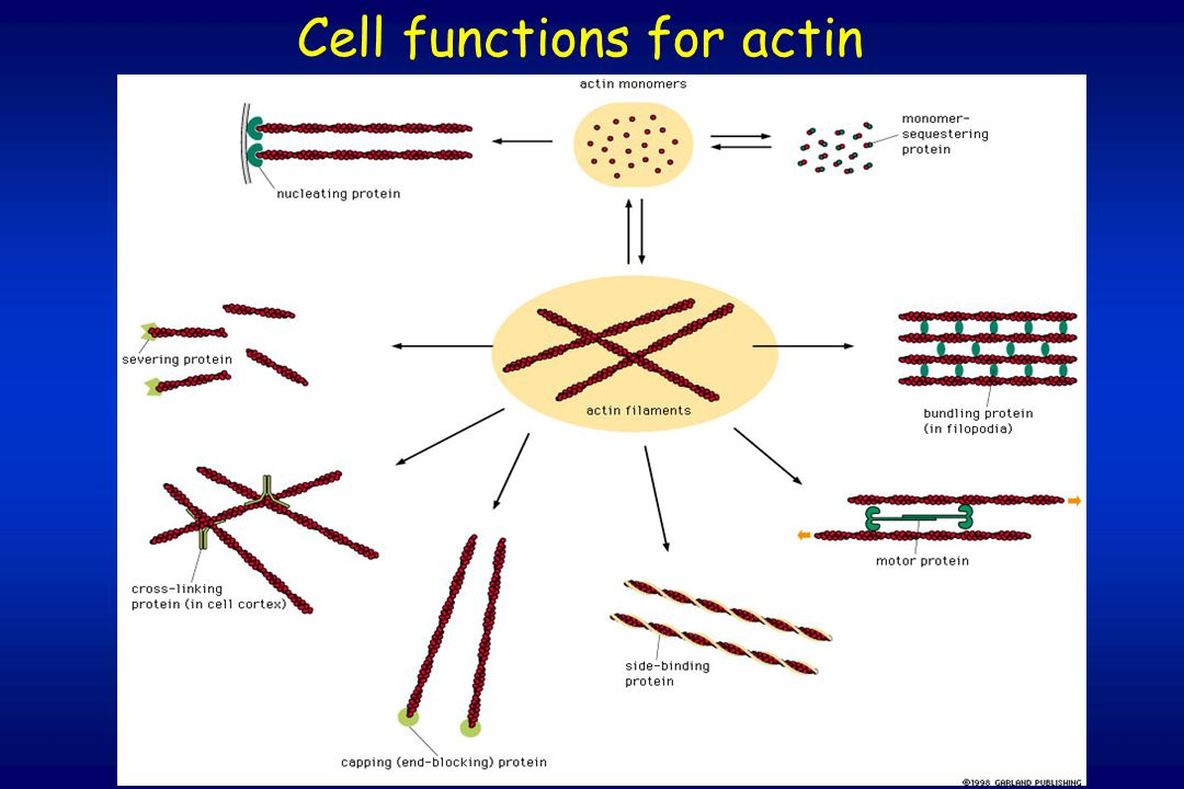 Cell functions for actin