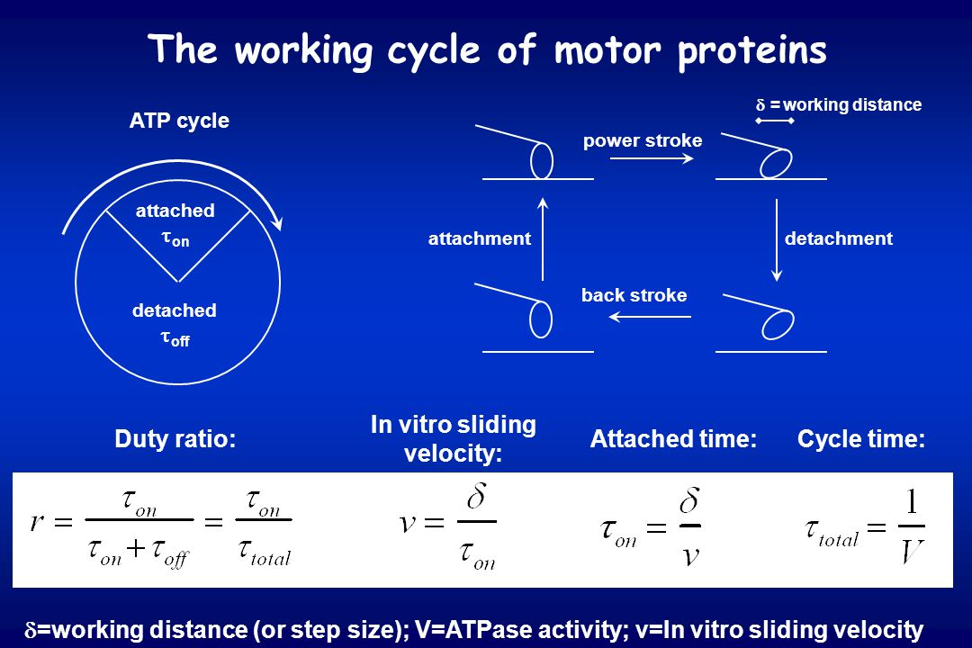 The working cycle of motor proteins Duty ratio: In vitro sliding velocity: Cycle time:Attached time: attached  on detached  off ATP cycle power stro