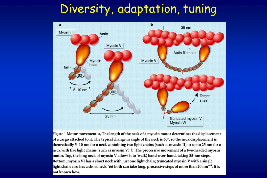 Diversity, adaptation, tuning