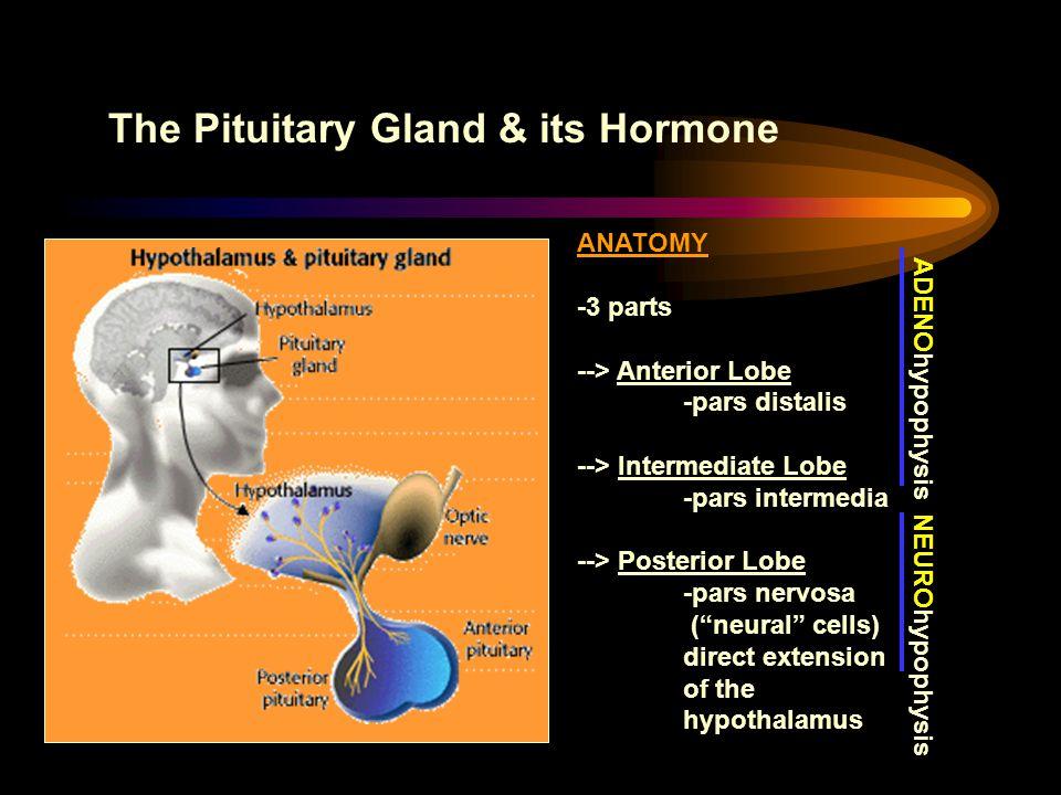 The Pituitary Gland & its Hormone ANATOMY -3 parts --> Anterior Lobe -pars distalis --> Intermediate Lobe -pars intermedia --> Posterior Lobe -pars ne