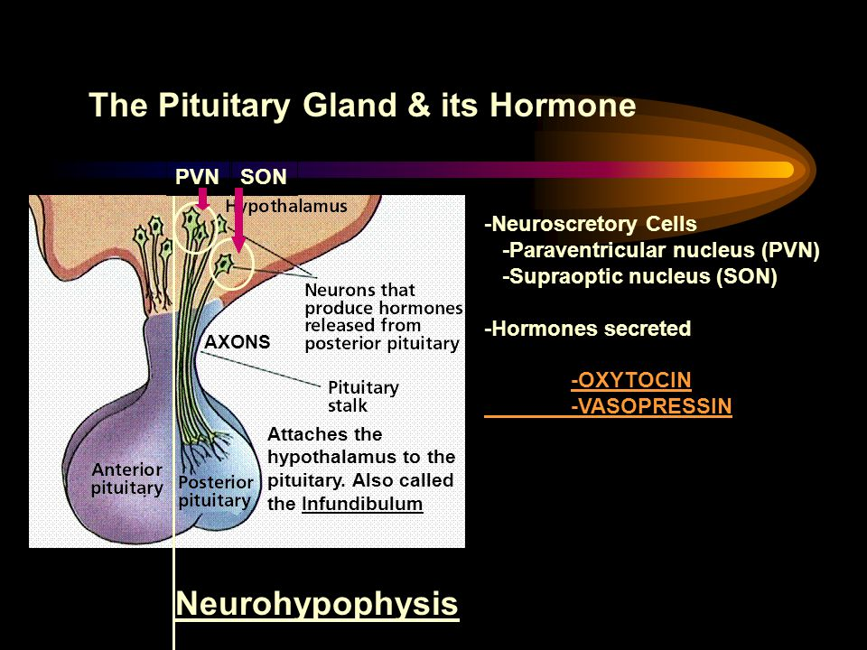 The Pituitary Gland & its Hormone Attaches the hypothalamus to the pituitary. Also called the Infundibulum Neurohypophysis -Neuroscretory Cells -Parav