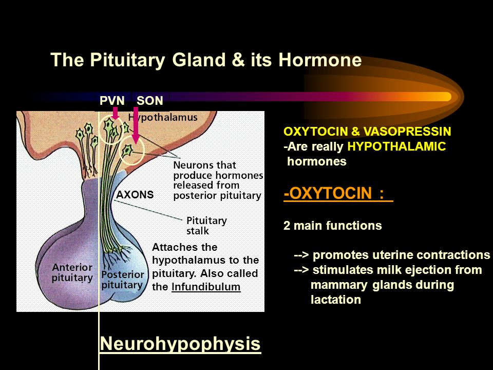 The Pituitary Gland & its Hormone Attaches the hypothalamus to the pituitary. Also called the Infundibulum Neurohypophysis PVNSON AXONS OXYTOCIN & VAS