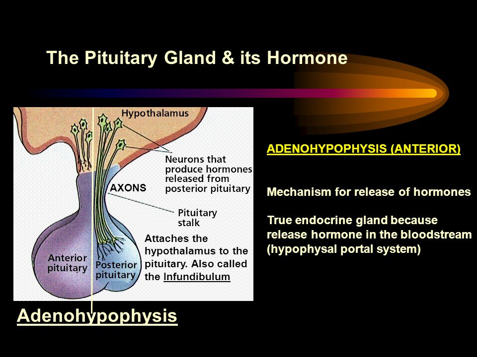 The Pituitary Gland & its Hormone Attaches the hypothalamus to the pituitary. Also called the Infundibulum Adenohypophysis AXONS ADENOHYPOPHYSIS (ANTE