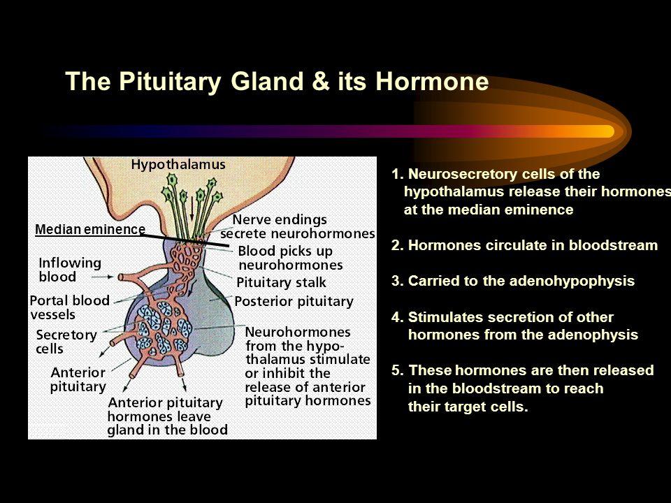 The Pituitary Gland & its Hormone Median eminence 1. Neurosecretory cells of the hypothalamus release their hormones at the median eminence 2. Hormone