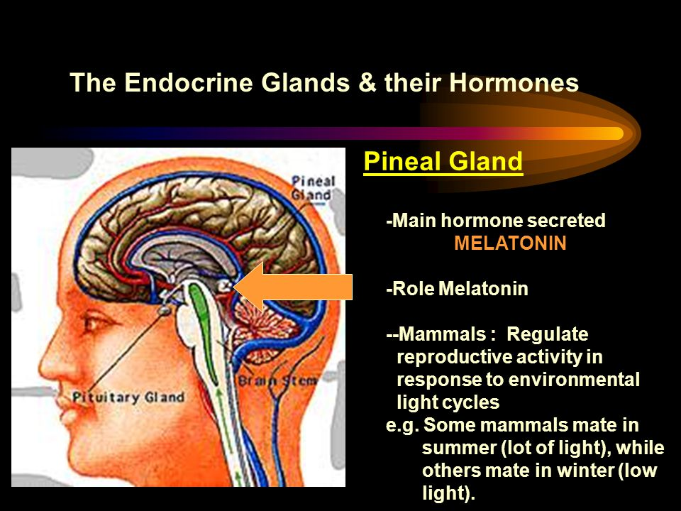 The Endocrine Glands & their Hormones Pineal Gland -Main hormone secreted MELATONIN -Role Melatonin --Mammals : Regulate reproductive activity in resp