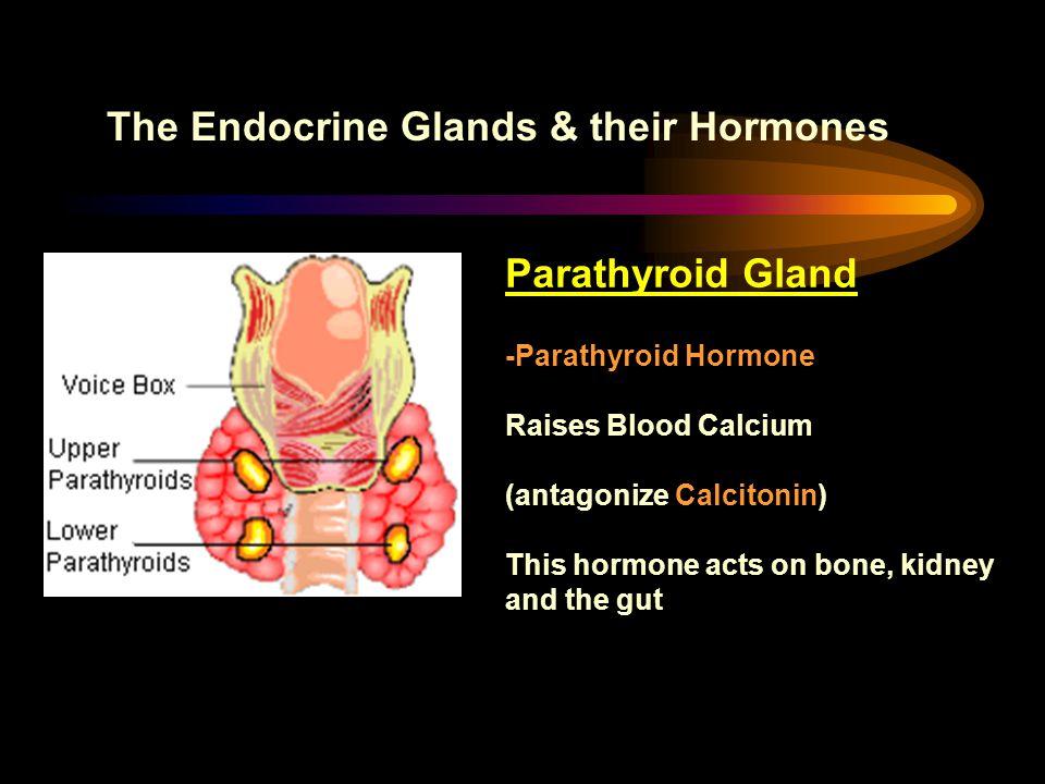 The Endocrine Glands & their Hormones Parathyroid Gland -Parathyroid Hormone Raises Blood Calcium (antagonize Calcitonin) This hormone acts on bone, k