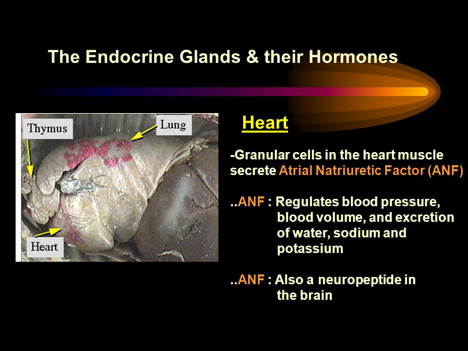 The Endocrine Glands & their Hormones Heart -Granular cells in the heart muscle secrete Atrial Natriuretic Factor (ANF)..ANF : Regulates blood pressur