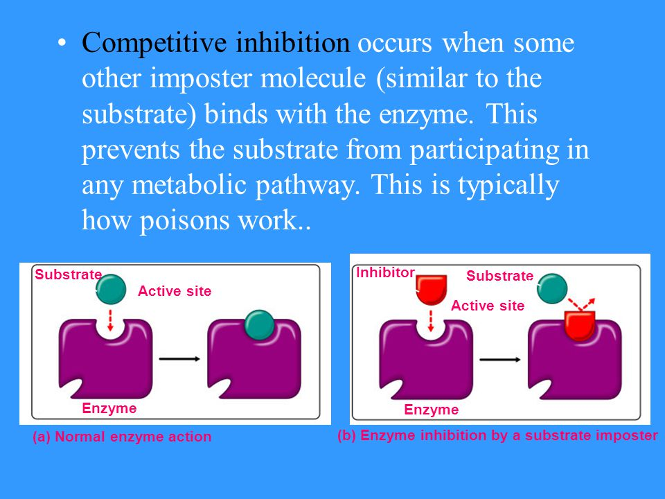 –Metabolic pathways are frequently regulated by inhibition. End-product inhibition occurs when one product binds with the enzyme and prevents it from