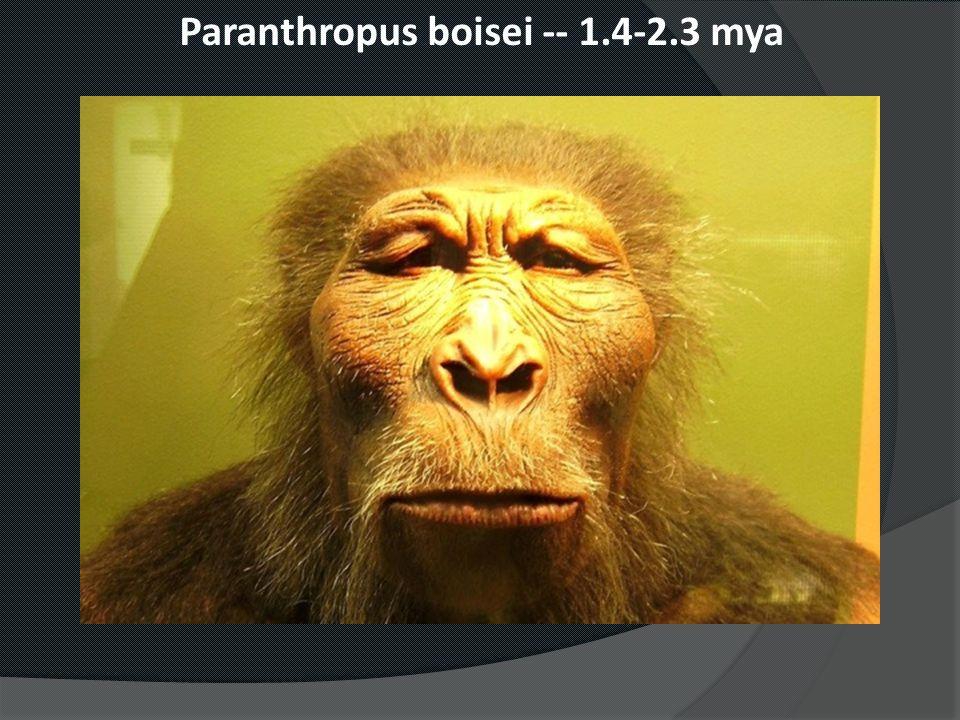 Paranthropus boisei -- 1.4-2.3 mya