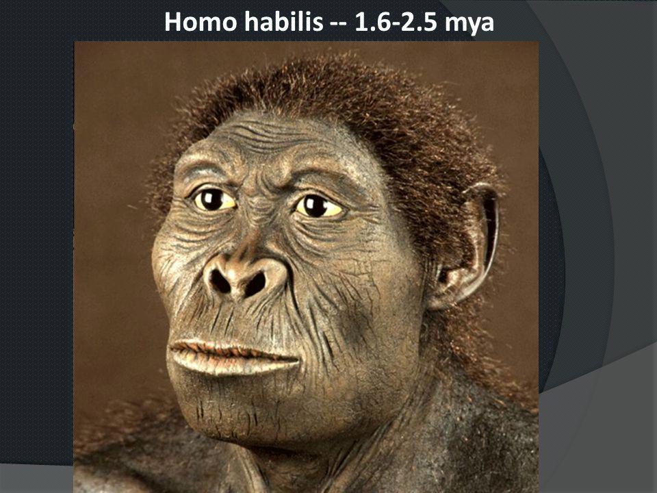 Homo habilis -- 1.6-2.5 mya
