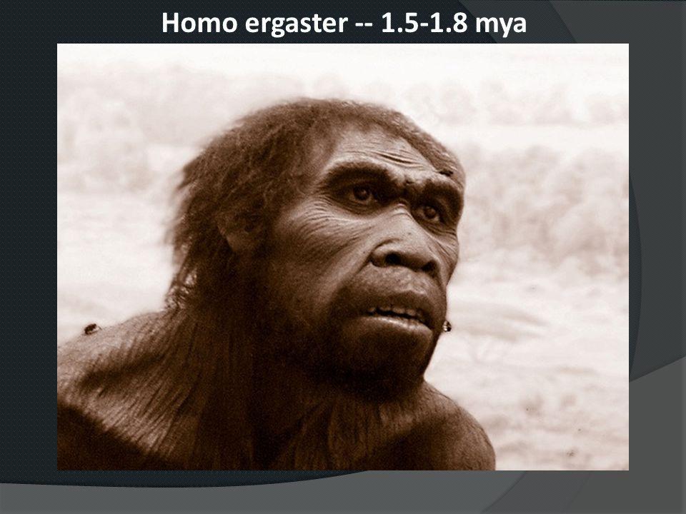 Homo ergaster -- 1.5-1.8 mya