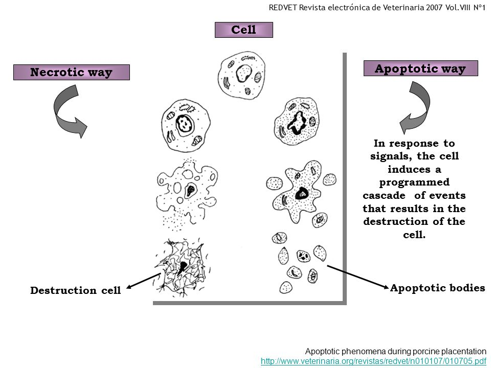 Cell Apoptotic way Necrotic way In response to signals, the cell induces a programmed cascade of events that results in the destruction of the cell.