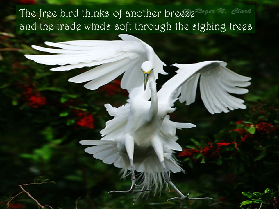 The free bird thinks of another breeze and the trade winds soft through the sighing trees