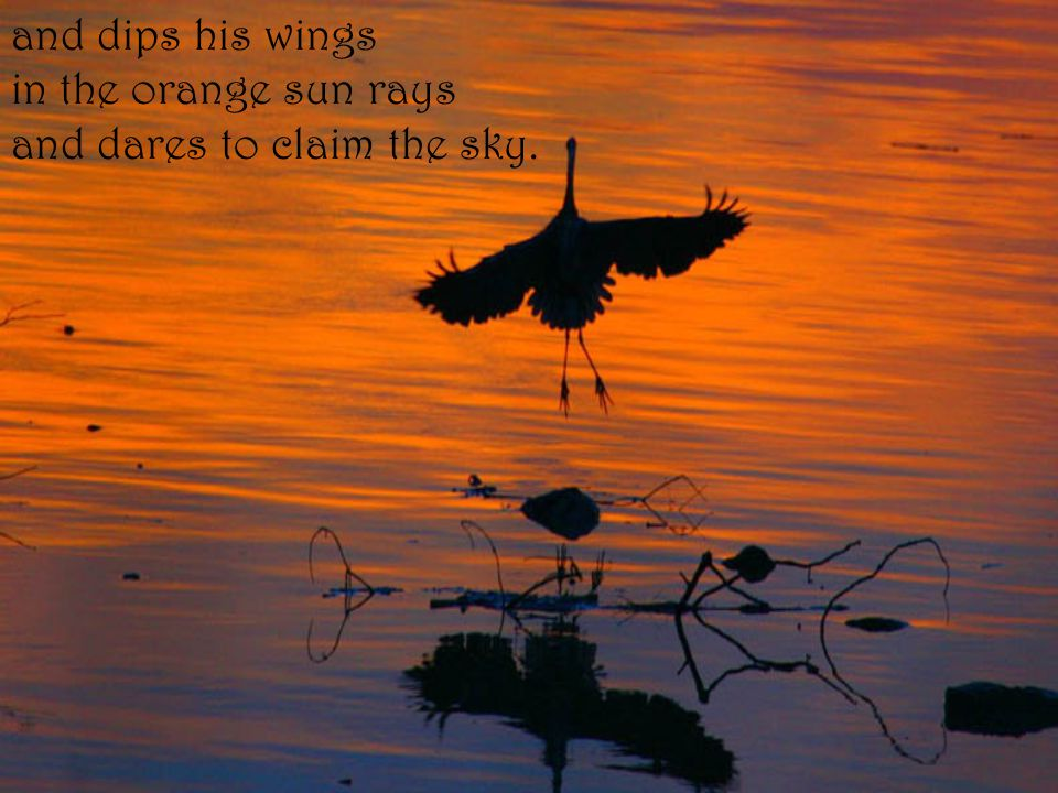 and dips his wings in the orange sun rays and dares to claim the sky.