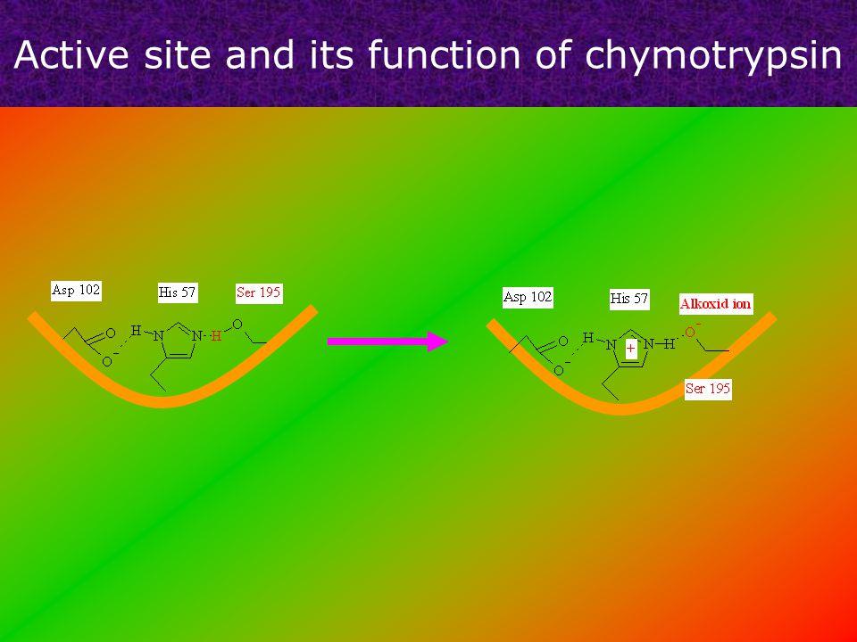 Hydrolysis of peptide bonds EnzymeAcyl-enzyme Enzyme