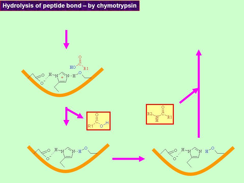 Acyl – enzyme intermedier Tetrahedral intermedier Hydrolysis of peptide bond – by chymotrypsin