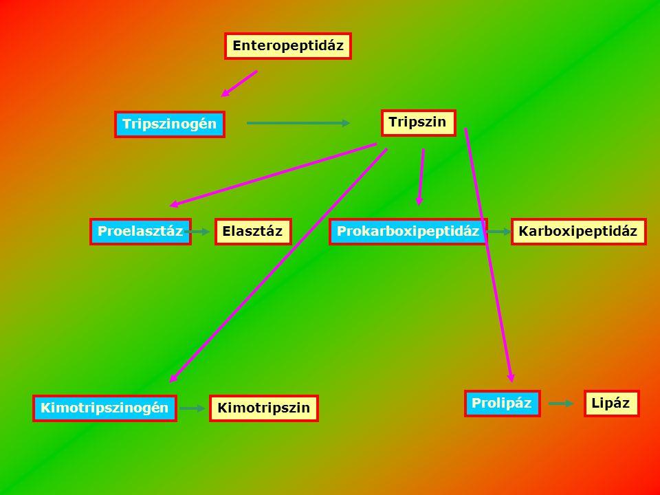 A gyomor és hasnyálmirigy zimogénjei SzervZimogénAktív enzim GyomorPepszinogénPepszin HasnyálmirigyKimotripszinogénKimotripszin HasnyálmirigyTripszinogénTripszin HasnyálmirigyProkarboxipeptidázKarboxipeptidáz HasnyálmirigyProelasztázElasztáz