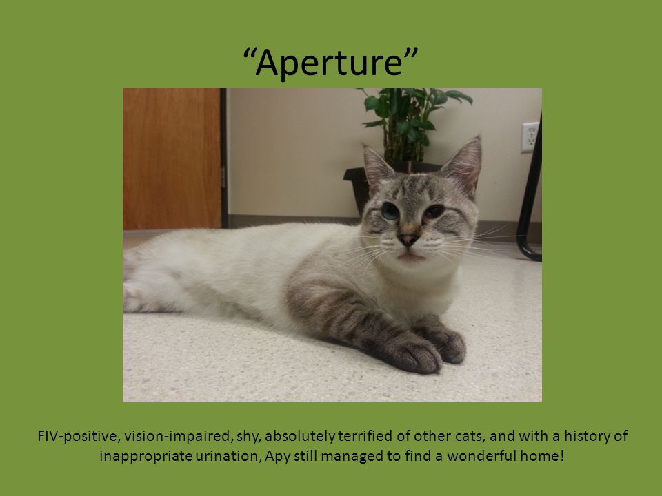 """Aperture"" FIV-positive, vision-impaired, shy, absolutely terrified of other cats, and with a history of inappropriate urination, Apy still managed to"