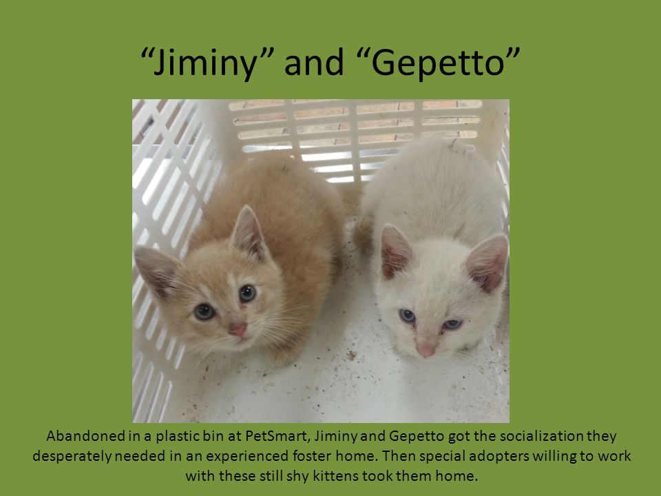 """Jiminy"" and ""Gepetto"" Abandoned in a plastic bin at PetSmart, Jiminy and Gepetto got the socialization they desperately needed in an experienced fost"