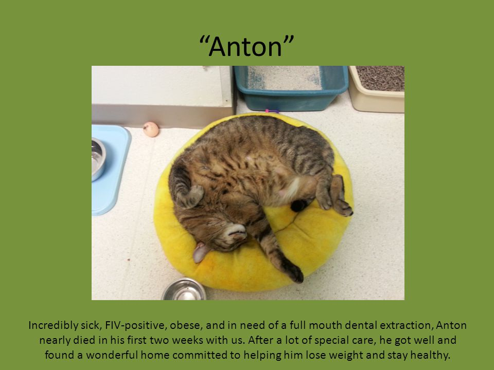 """Anton"" Incredibly sick, FIV-positive, obese, and in need of a full mouth dental extraction, Anton nearly died in his first two weeks with us. After a"