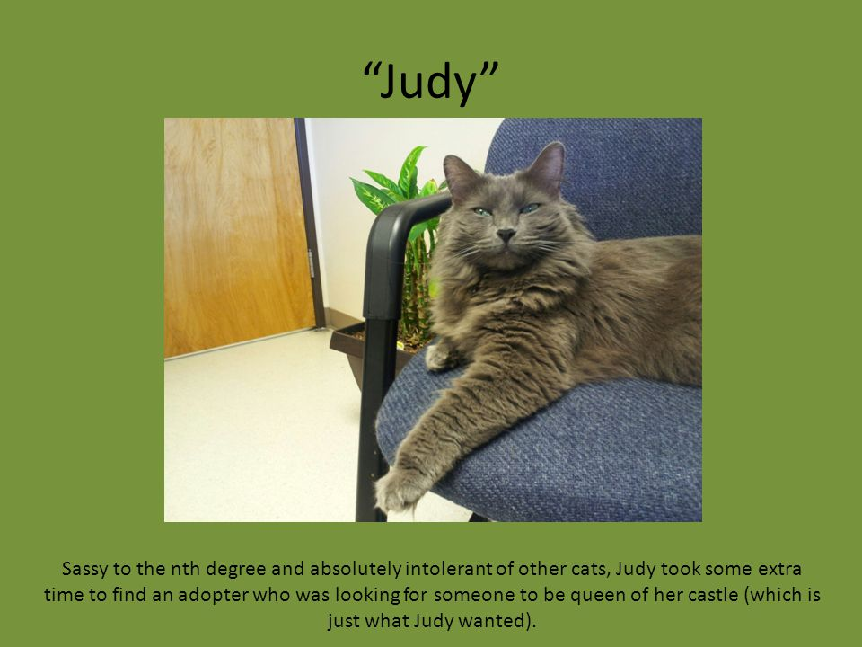 """Judy"" Sassy to the nth degree and absolutely intolerant of other cats, Judy took some extra time to find an adopter who was looking for someone to be"