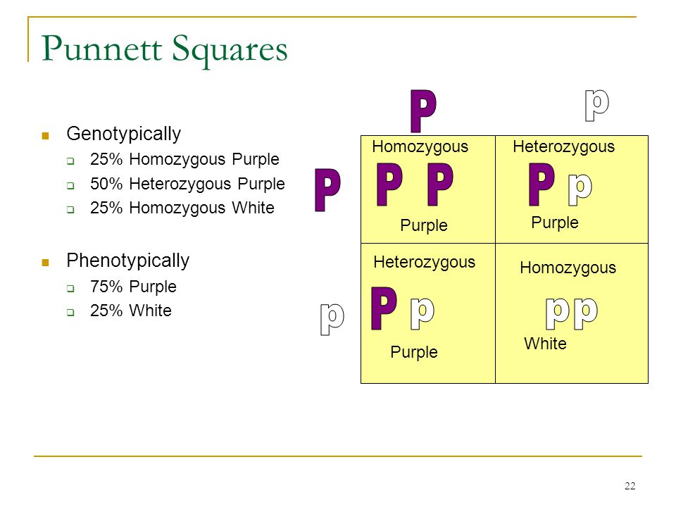 22 Punnett Squares Genotypically  25% Homozygous Purple  50% Heterozygous Purple  25% Homozygous White Phenotypically  75% Purple  25% White Homo