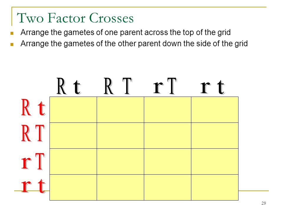 29 Two Factor Crosses Arrange the gametes of one parent across the top of the grid Arrange the gametes of the other parent down the side of the grid