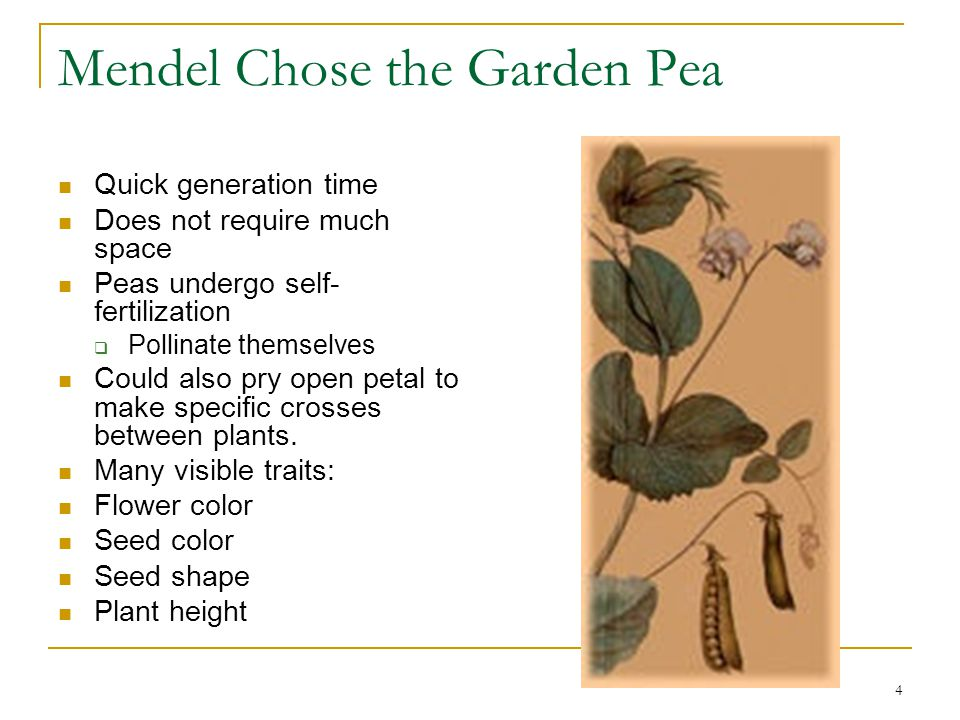 4 Mendel Chose the Garden Pea Quick generation time Does not require much space Peas undergo self- fertilization  Pollinate themselves Could also pry