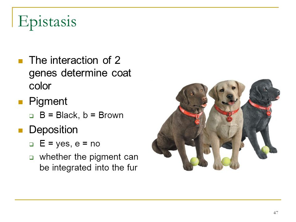 47 Epistasis The interaction of 2 genes determine coat color Pigment  B = Black, b = Brown Deposition  E = yes, e = no  whether the pigment can be
