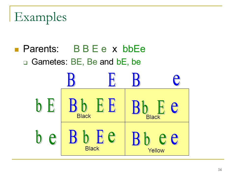 56 Examples Parents: B B E e x bbEe  Gametes: BE, Be and bE, be Black Yellow